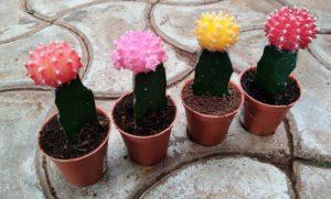 CAPPL Moon Small Cactus saample